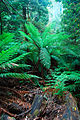 Rainforest 1 - liffey falls tasmania.jpg
