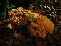 Ramaria aurea-clavaire dorée2 (Ain).JPG