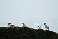 Rams on a ridge in Denali National Park and Preserve (9186260732).jpg