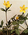 Ranunculus hispidus var. hispidus WFNY-060B-4x5.jpg