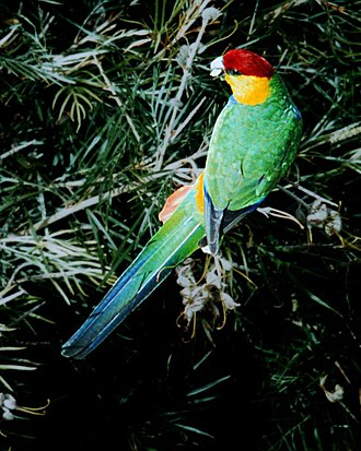 Red-capped parrot - Image: Red Capped Parrot 0004 flat web