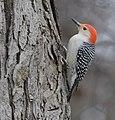 Red-bellied Woodpecker (33301614246).jpg