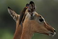 Red-billed Oxpecker, Buphagus erythrorhynchus, on an impala at Kruger Park. (14005460953).jpg