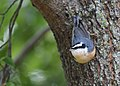 Red-breasted Nuthatch (43394257650).jpg