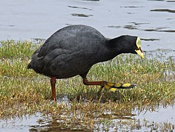 Red-gartered Coot RWD5.jpg