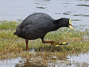 Red-gartered coot - Image: Red gartered Coot RWD5