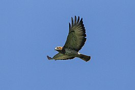 Red-necked Buzzard - Shai Hills - Ghana 14 S4E1157.jpg