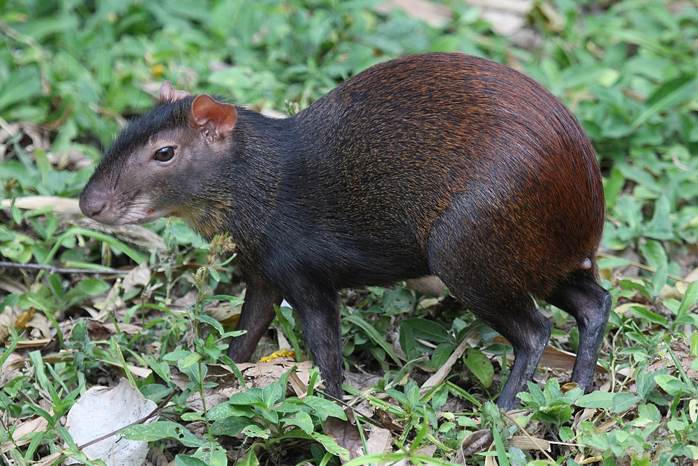 The average litter size of a Red-rumped agouti is 1