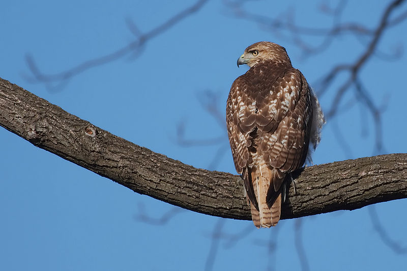 Soubor:Red-tail hawk 3695 edit.jpg