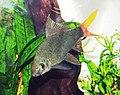 Red-tailed black shark.jpg