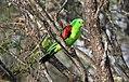 Red-winged Parrot (Aprosmictus erythropterus) (31377266825).jpg