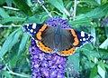 Red Admiral Butterfly, Vanessa atalanta - geograph.org.uk - 934765.jpg