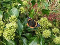 Red Admiral on Ivy - geograph.org.uk - 270538.jpg