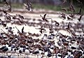 Red Knots and Laughing Gulls (5269753888).jpg