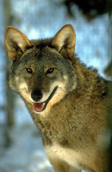 Red Wolf Portrait - 6189163039