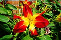 Red and yellow lily flower - panoramio.jpg