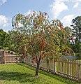Red bottlebrush tree in Florida crop.jpg