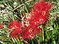 Red flowers Botanic Garden.jpg