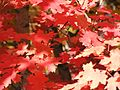 Red leaves (Acer grandidentatum) - Little Cottonwood Canyon, Utah (2003).jpg