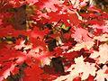 Red leaves (Acer grandidentatum) - Little Cottonwood Canyon, Utah (2003).jpg