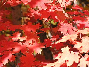 Acer grandidentatum - Image: Red leaves (Acer grandidentatum) Little Cottonwood Canyon, Utah (2003)