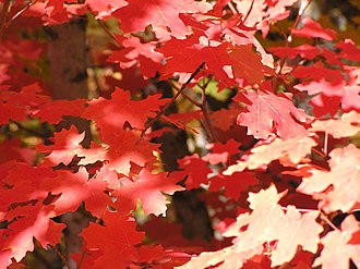 Acer grandidentatum - Image: Red leaves (Acer grandidentatum) Little Cottonwood Canyon, Utah (2003)