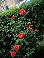 Red rose bush, ArmAg.jpg