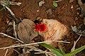 Red velvet mite Trombidiidae from kadapa Andhra Pradesh IMG 2418.jpg