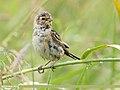 Reed Bunting (Emberiza schoeniclus) (49049338292).jpg