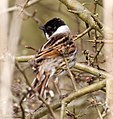 Reed Bunting 1a (7003108569).jpg