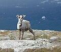 Reindeer Torkilstöten 2012.jpg