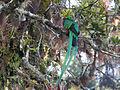 Resplendent Quetzal, Mirador de Quetzales, Costa Rica (3976497775).jpg