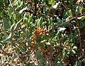 Rhamnus crocea az.jpg