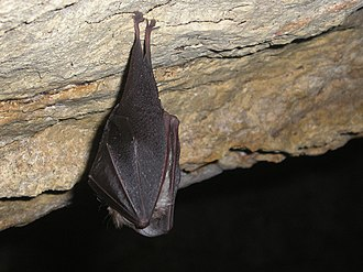 Lesser horseshoe bat - Lesser horseshoe bat in cave during winter.