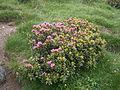 Rhododendron ferrugineum 001.JPG
