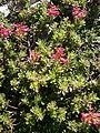 Rhododendron hirsutum RHu 06.JPG