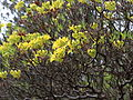 Rhododendron luteum-IMG 6683.JPG