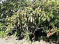 Rhododendron ponticum - University of Copenhagen Botanical Garden - DSC08074.JPG