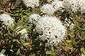 Rhododendron tomentosum 042.jpg