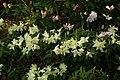 Rhododendronkeiskei.jpg