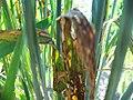 Rhynchosporium secalis on barley.jpg