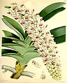 Rhynchostylis gigantea (as Saccolabium giganteum) - Curtis' 93 (Ser. 3 no. 23) pl. 5635 (1867).jpg