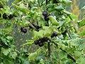 Ribes × nidigrolaria (Jostaberry).jpg