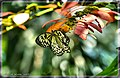 Rice Paper Butterfly - Flickr - pinemikey.jpg