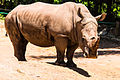 Rinoceronte (8496826362).jpg