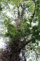 Rio de janeiro, jardim botanico, albero con frutti che escono dalla corteccia 00.JPG