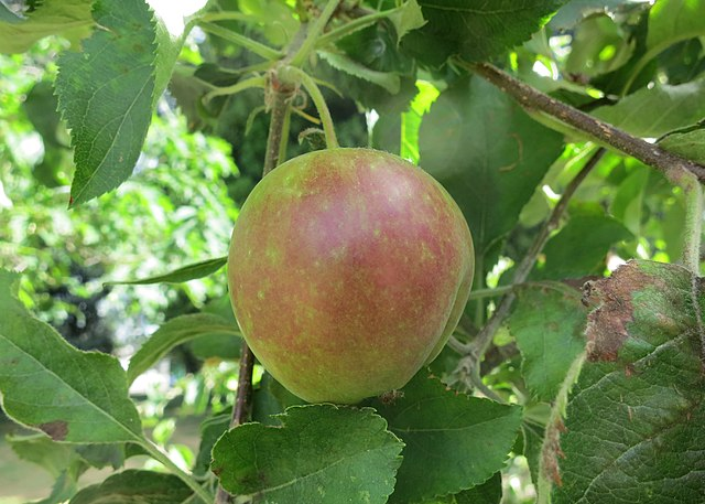 Ripening Apple - Photo by Ruth Hartnup via Wiki Free Images - A green apple, ripening towards red, hangs from its stem amid green leaves.