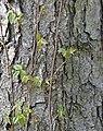 River Birch Betula nigra Bark Vertical.JPG