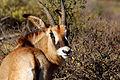 Roan antelope (Hippotragus equinus) male head.jpg