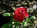 Rosa 'Benjamin Britten' - 1.jpg